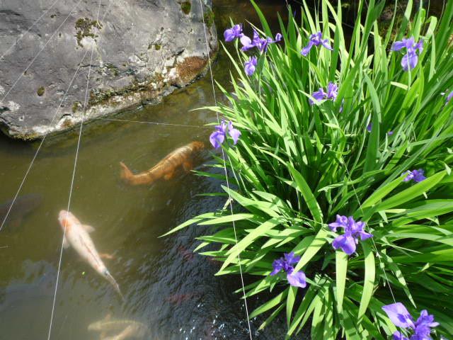 かきつばた 池1